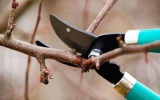Как обрезать абрикос осенью