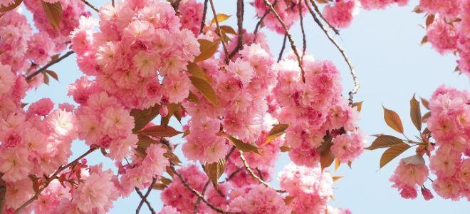 Особенности выращивания японской вишни сакуры