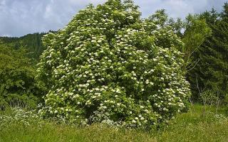 Растение бузина