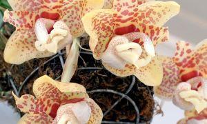 Орхидея стангопея
