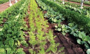 Фенхель выращивание из семян