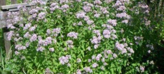 Душица выращивание из семян