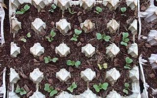 Оригинальный способ выращивания редиса в яичных лотках