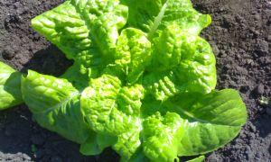 Салат латук листовой