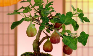 Инжир (фиговое дерево)