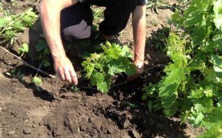 Как пересадить виноград