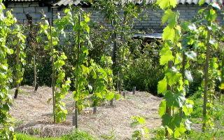 Как размножить виноград