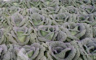Савойская капуста выращивание