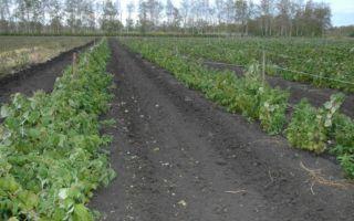 Малина: выращивание, посадка и уход за малиной
