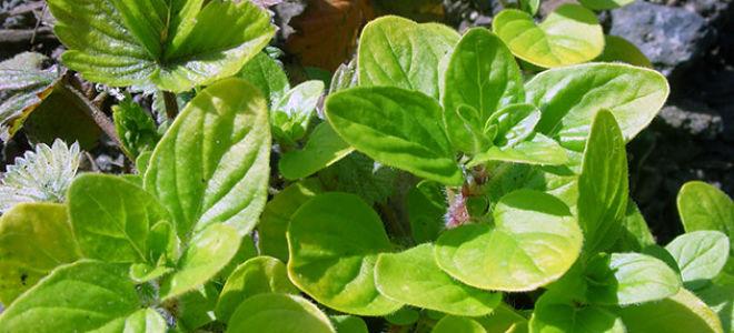 Майоран выращивание из семян