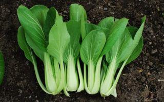 Китайская капуста выращивание и уход