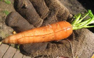Что делать, когда трескается морковка