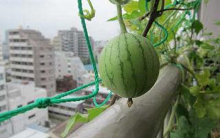 Как вырастить арбуз дома