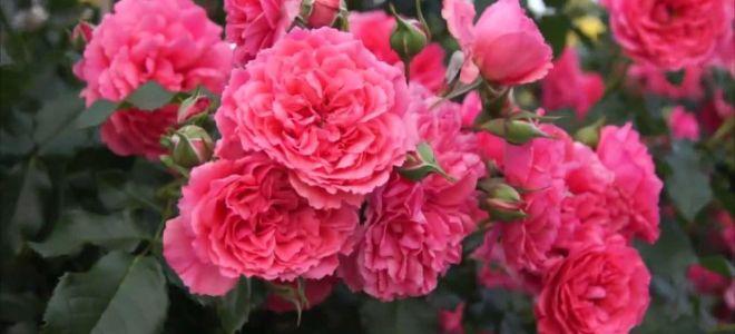 5  лучших сортов плетистой розы с крупными цветками