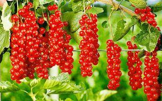 20 лучших сортов красной смородины