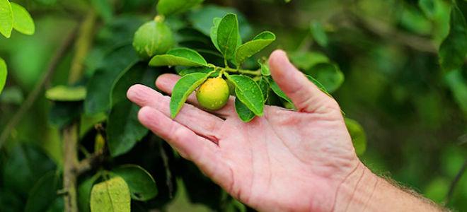 Бергамот выращивание в саду