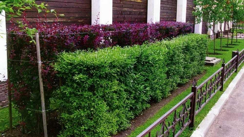 Двухрядная ступенчатая зеленая изгородь