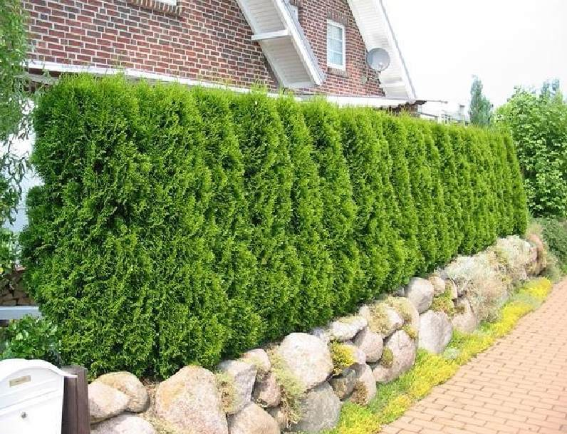 Хвойная вечнозеленая живая изгородь на даче