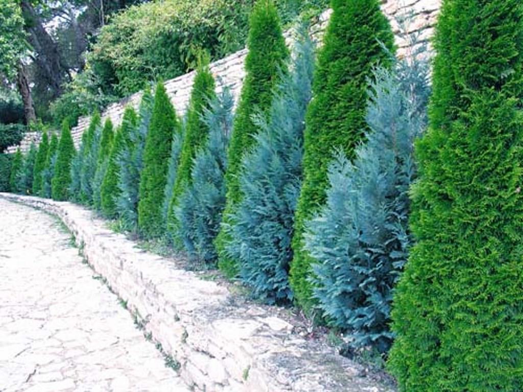 Комбинированная живая вечнозеленая изгородь