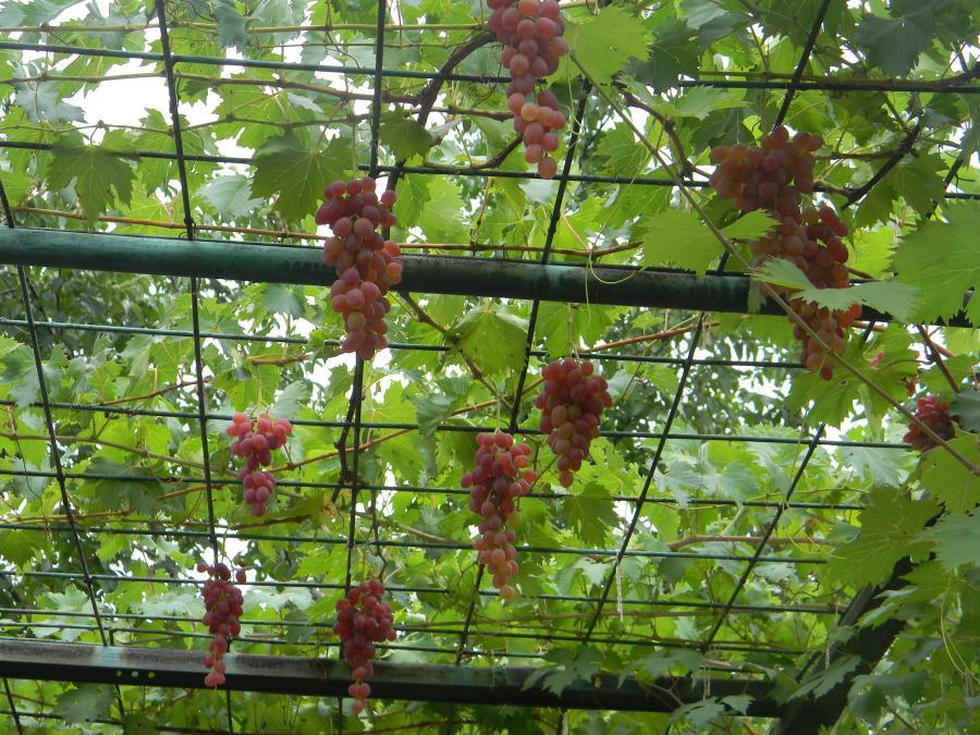 Металлический навес для винограда с использованием сетки