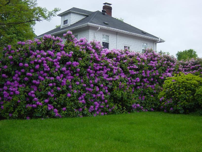 Цветущая живая изгородь-забор для дачи