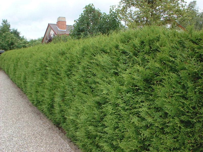Туя Брабант для формирования живой вечнозеленой изгороди