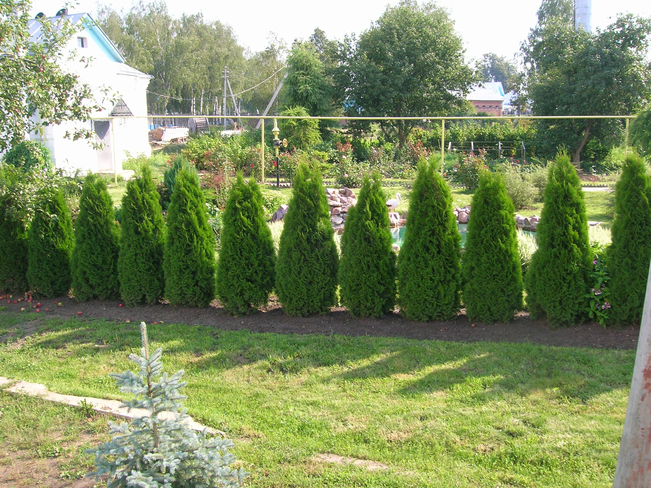 Вечнозеленая изгородь из кустов зимой
