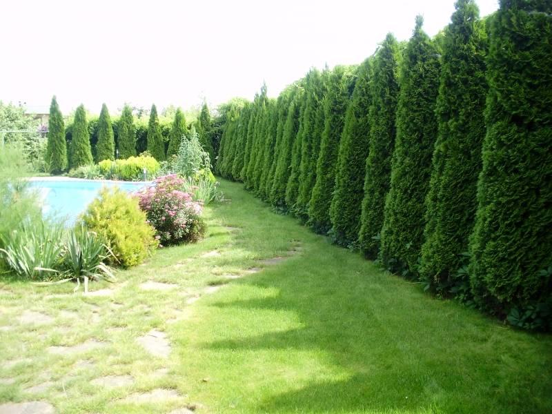 Вечнозеленая живая изгородь для защиты дачного участка