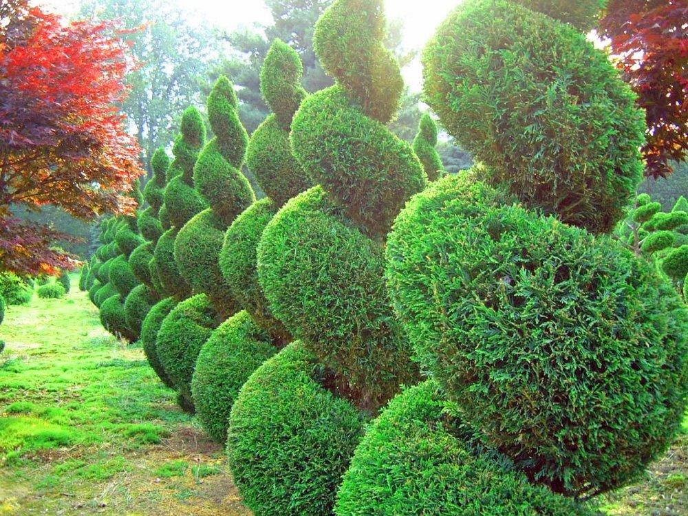 Вечнозеленая живая изгородь на дачном участке