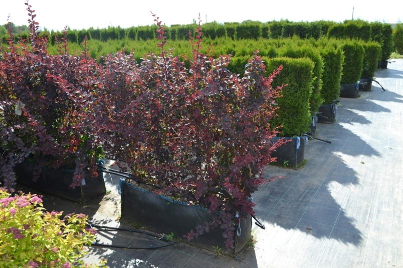 Блок барбариса для живой изгороди на даче