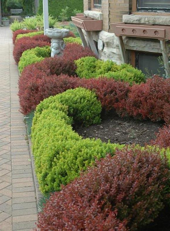 Ландшафтный дизайн. Живая изгородь из барбариса