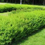 Барбарис – красивая и неприхотливая живая изгородь
