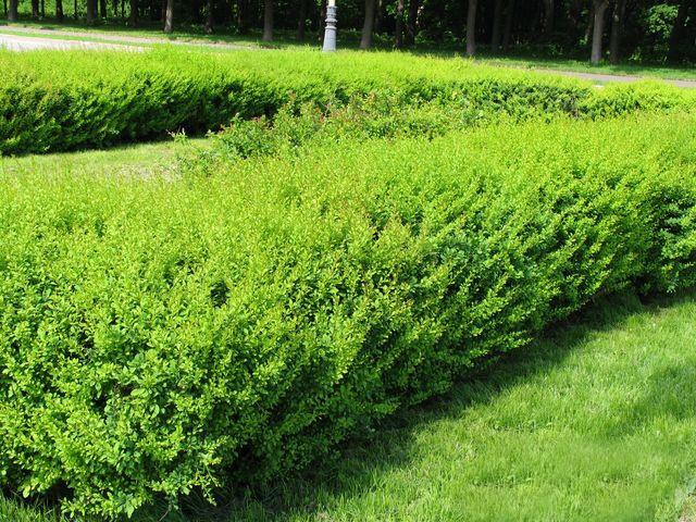 Живая изгородь из барбариса Тунберга для дачного участка