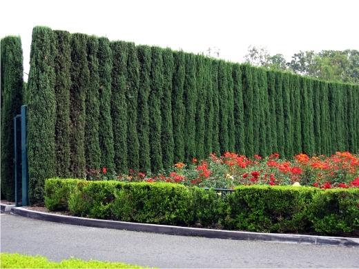 Высокий живой забор из можжевельника виргинского