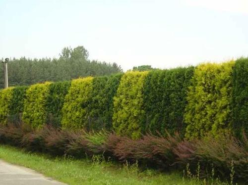 Зеленый живой забор с использованием двух сортов можжевельника