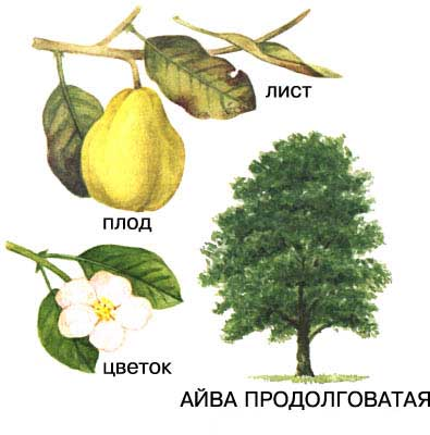 Ботаническое описание дерева айва