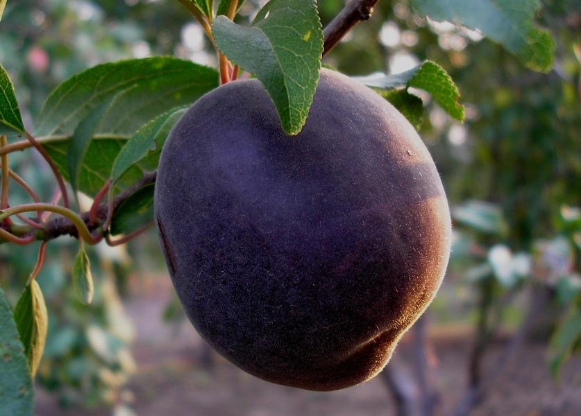 Черный сорт абрикоса для дачи