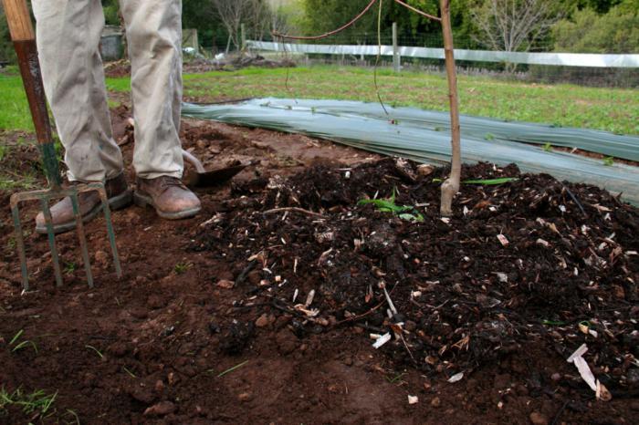 Как произвести посадку, удобрение и уход за деревом алычи сорта злато скифов