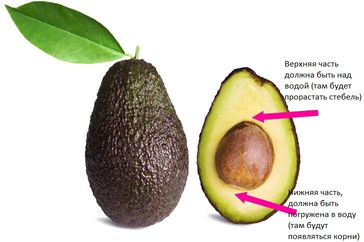 Как самостоятельно прорастить косточку авокадо
