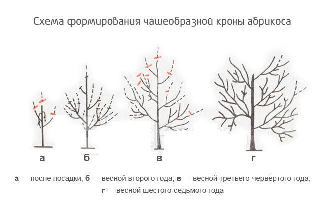 Как сформировать чашеобразную крону абрикосового дерева сорта Лель