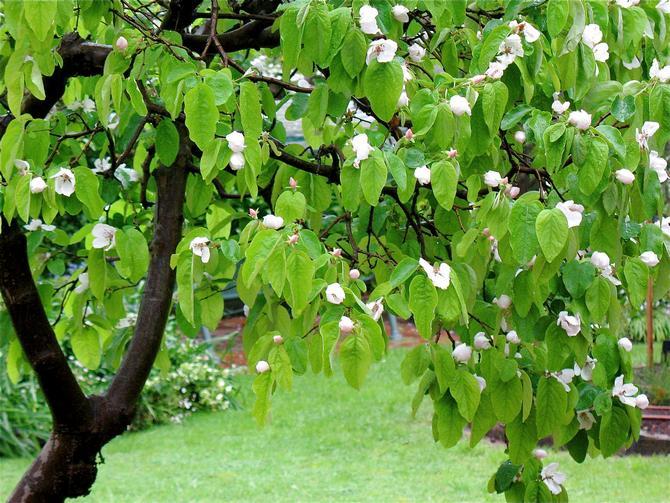 Как цветет дерево Айва