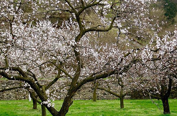 Как цветет дерево абрикоса сорта Лель