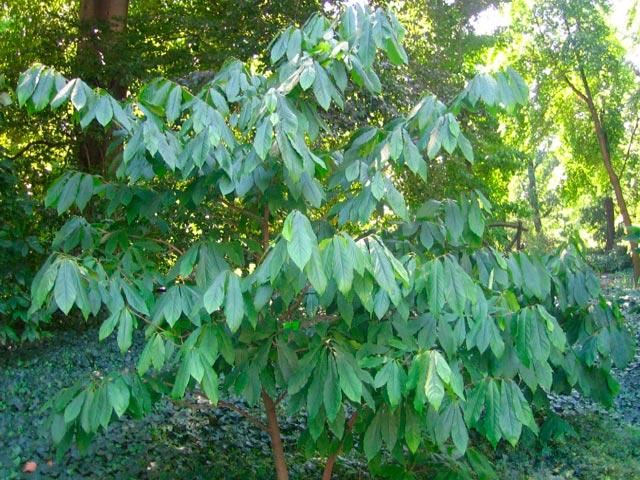 Как выглядит молодое деревце азимины трехлопастной