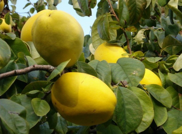 Как выглядят плоды айвы китайской