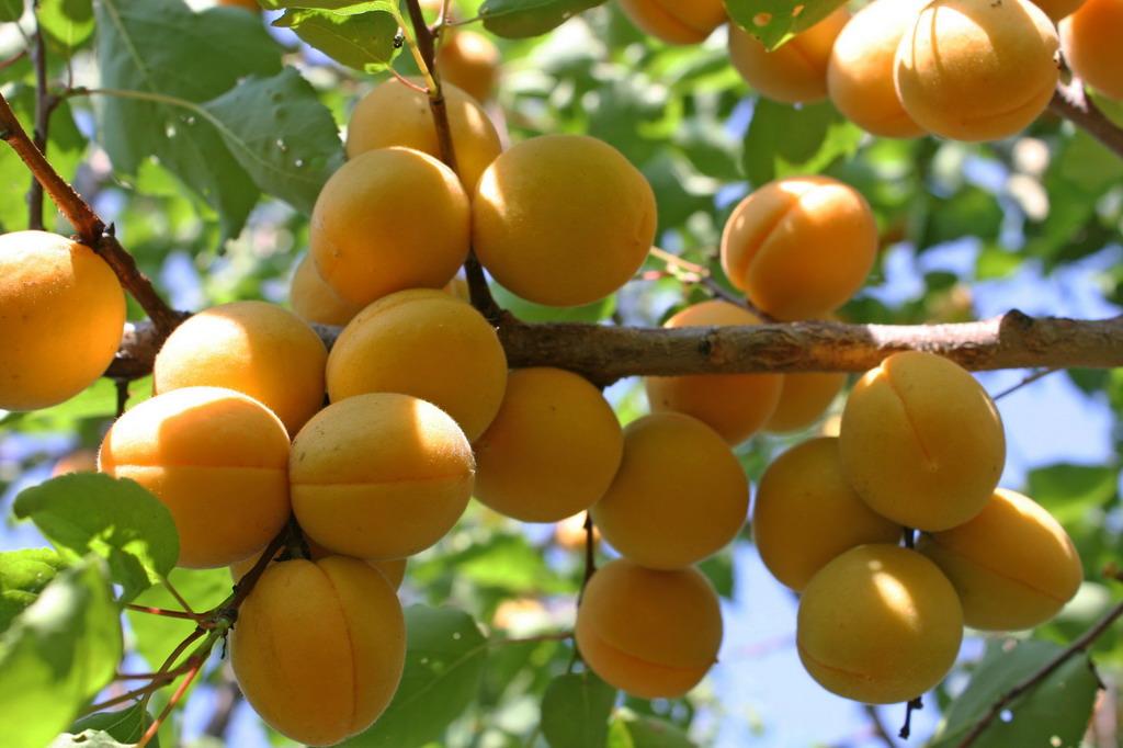 Как вырастить абрикос Лель на даче своими руками