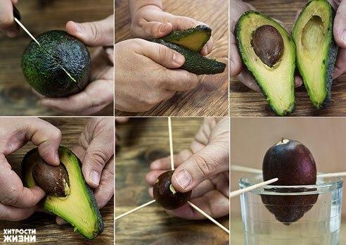 Как вырастить авокадо из косточки. Технология процесса
