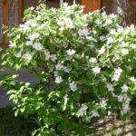 Дерево айва – что важно знать садоводу