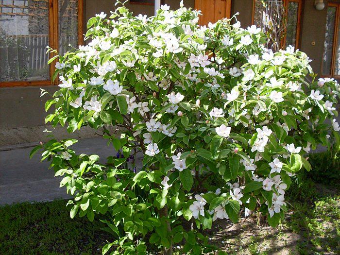 Как вырастить дерево айвы на загородном участке