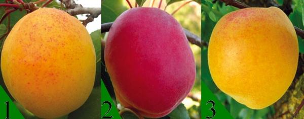 Какой сорт абрикоса выбрать для высадки на даче