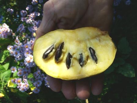 Плод азимины трехлопастной внутри